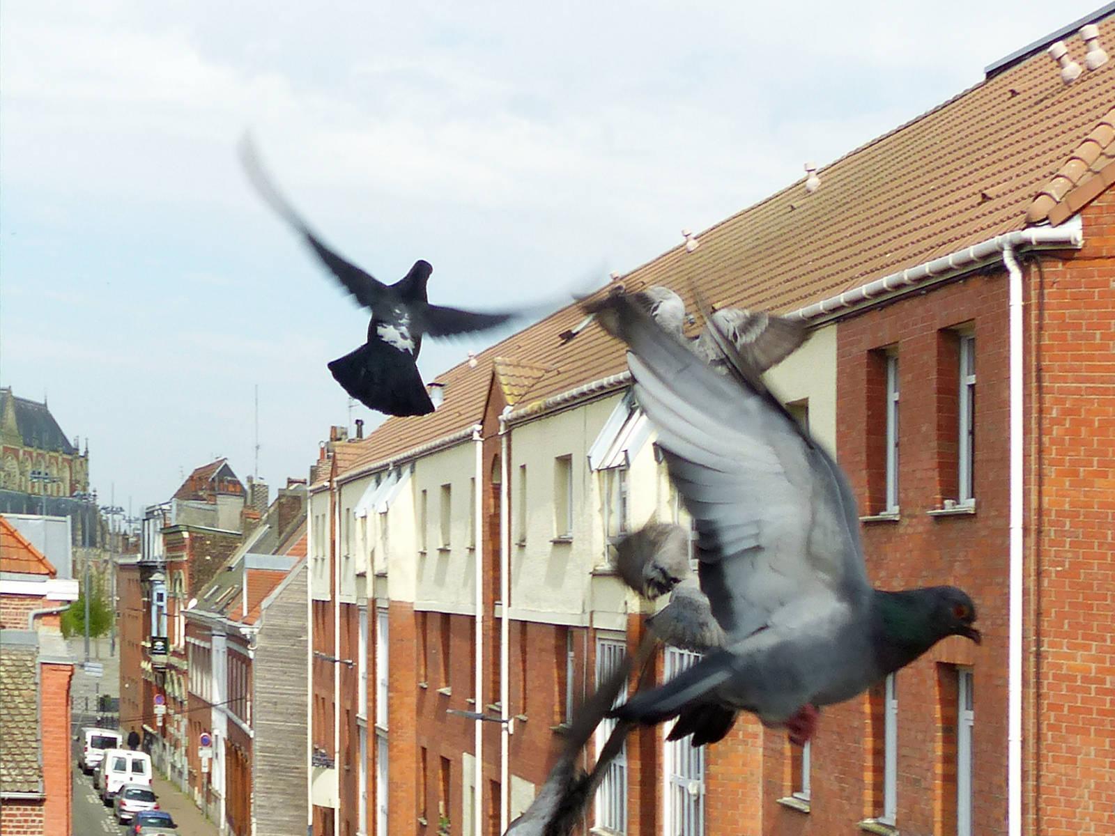 Pigeons Tourcoing