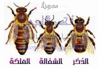 التوالد البكرى - النحل