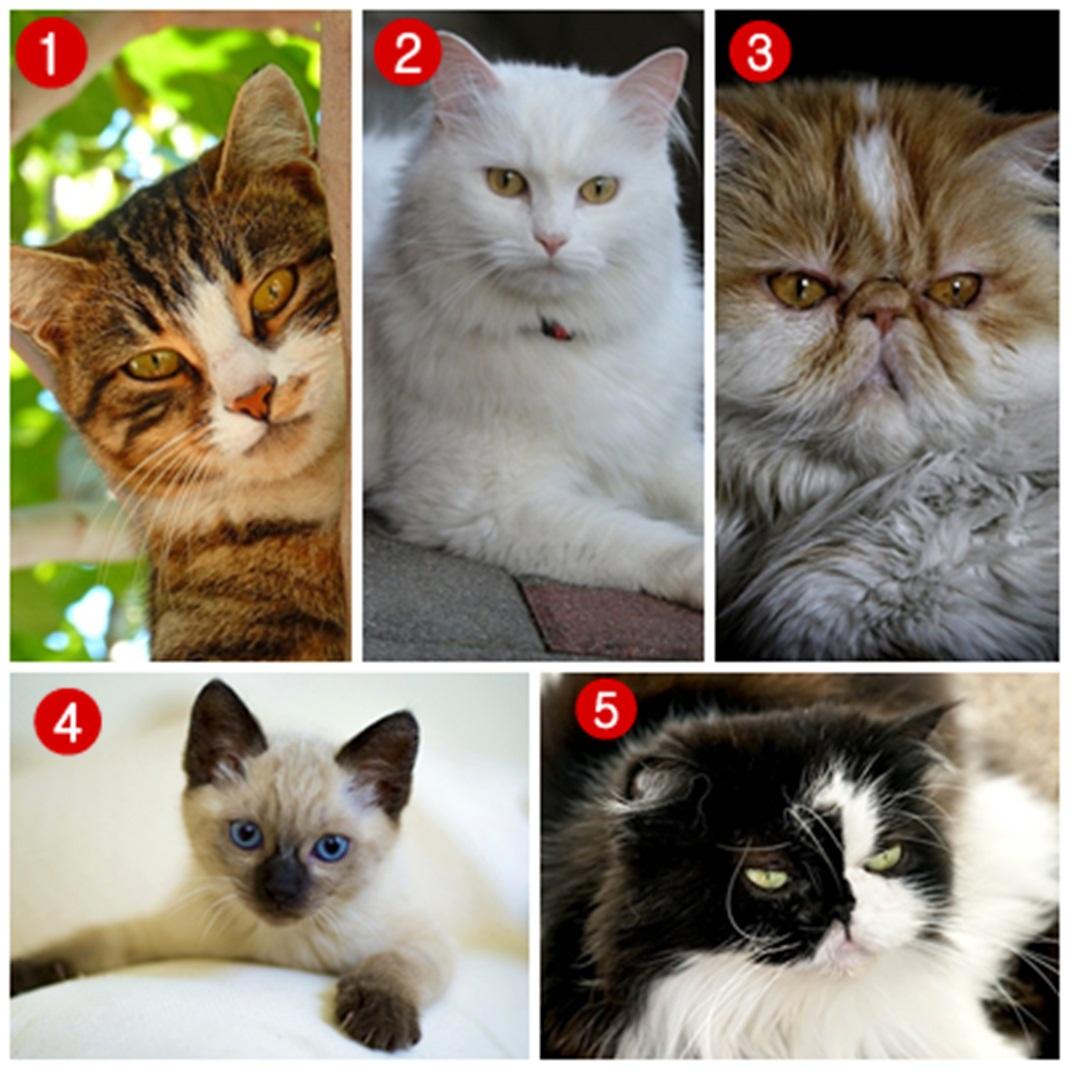 Jenis Kucing Paling Populer Di Indonesia, Kamu Pelihara Yang Mana?