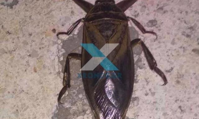 Το σπάνιο έντομο λιθόκερος εμφανίστηκε στην Κομοτηνή – Tο δάγκωμα του είναι δηλητηριώδες