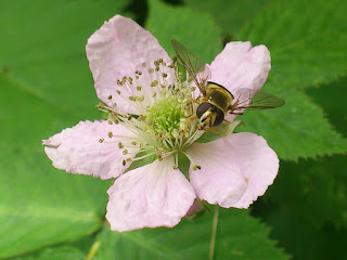 syrphe sur une fleur de mûre