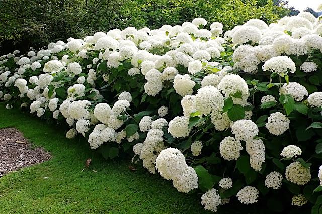 Гортензия - цветок имени Лидия
