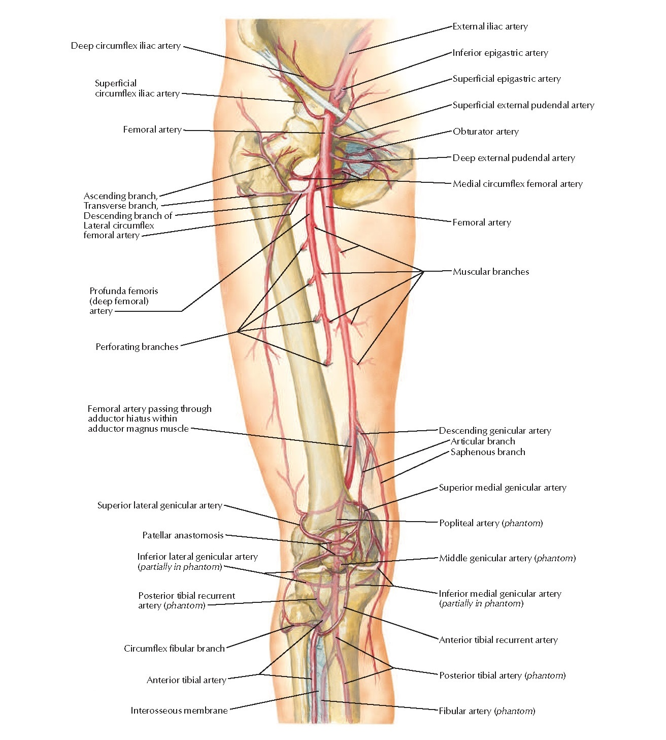 Arteries of Thigh and Knee Anatomy