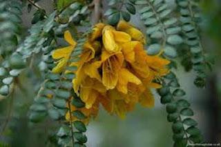 Kowhai Sophora microphylla - berbagaireviews.com