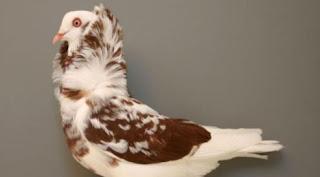 Foto Burung Merpati Old Dutch Capuchine Daftar Harga Burung Hias Terbaru