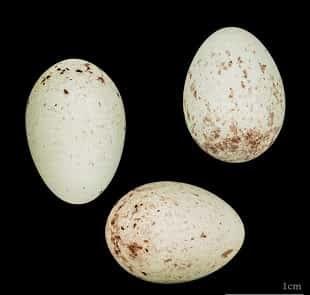 أسباب عدم تخصيب بيض الكناري والحل لهده المشكلة