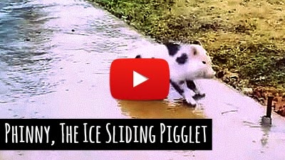 Watch cute and tiny little piglet named Phinny having tough time walking on the icy sidewalk as she adorably slips and slides across the icy sidewalk via geniushowto.blogspot.com viral piglet pet videos