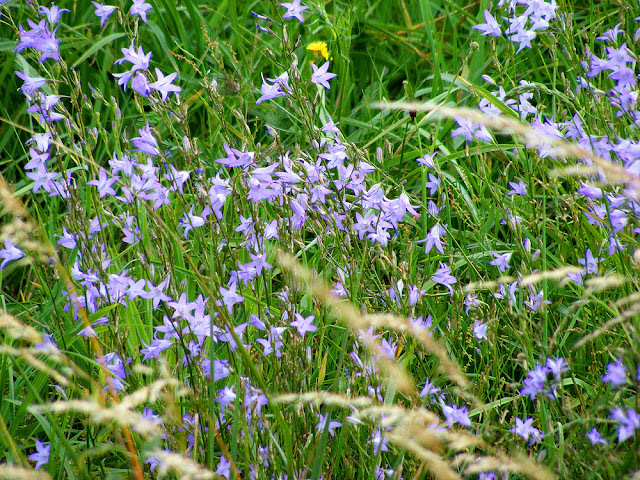 Rampion Bellflower Campanulus rapunculus. Indre et Loire. France. Photo by Loire Valley Time Travel.