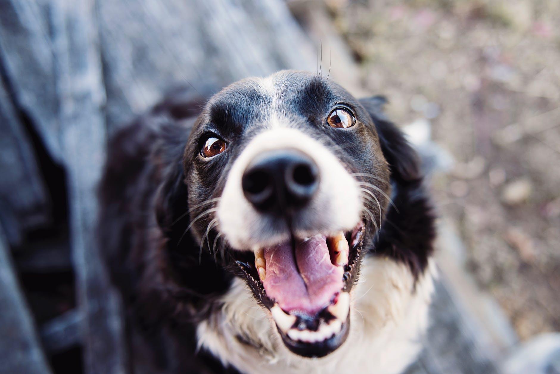Pourquoi les chiens halètent-ils?