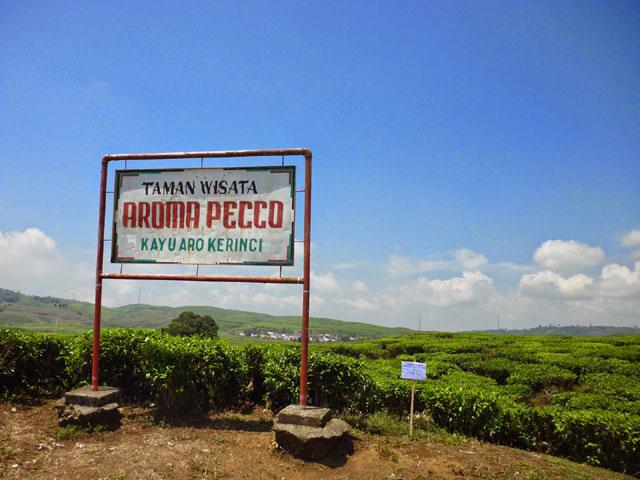 Kebun Teh dan Aroma Pecco yang Hijau