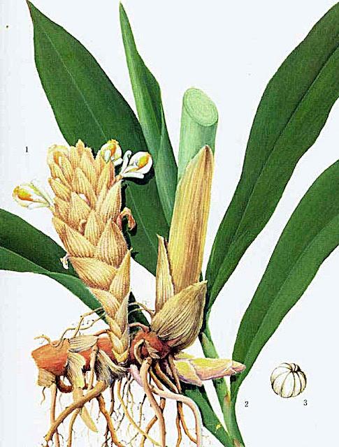 Biały kardamon (Alpinia tonkinensis/Amomum krervanh) -chińska, azjatycka przyprawa, jak wygląda biały kardamon, co to jest, jak rośnie, jak smakuje i pachnie biały kardamon, Siam cardamom. Nietypowe ciekawe przyprawy, rośliny przyprawowe z Azji, Chin. Rośliny egzotyczne spokrewnione z imbirem, kardamonem, alpinia, imbirowate.