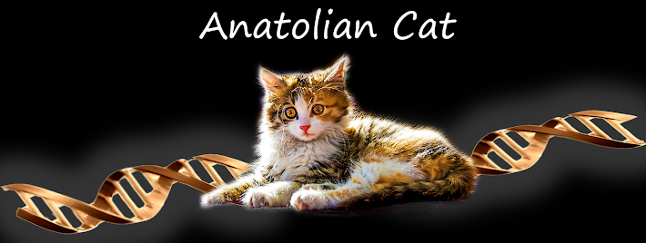 Anatolian Cat