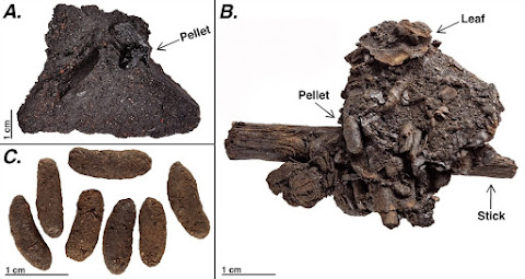 Unprecedented preservation of fossil feces from the La Brea Tar Pits