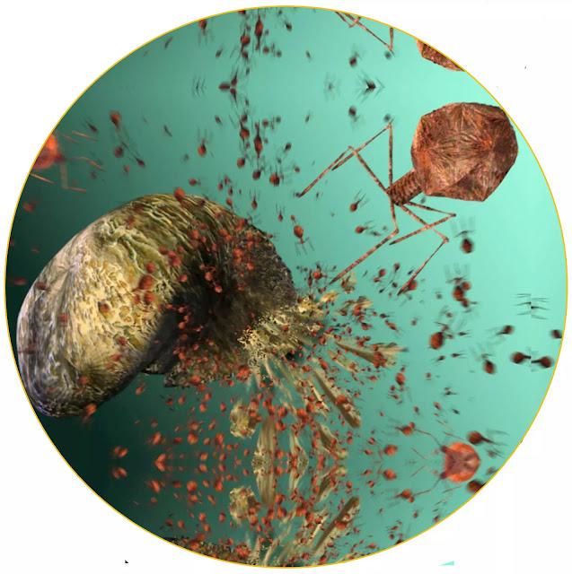 Bakteriofag adalah infeksi dimana dilakukan virus pada bakteri guna melakukan replikasi. Sejarah mencatat penemuan awal Bakteriofag pada 1915, dan hingga saat ini Bakteriofag memiliki peran penting dalam studi biologi virus, salah satu pemanfaatannya dalam pengembangan metode CRISPR.    Secara historis, para peneliti mengamati peran Bakteriofag dalam membatasi aktivitas bakteri tetapi studi tentang Bakteriofag tidak dapat membuat tanda pada genomik bakteri. Dalam beberapa tahun terakhir, telah muncul minat dalam penelitian Bakteriofag di seluruh dunia untuk peran penting Bakteriofag dalam genetika bakteri dan biologi molekuler. Menjadi entitas dimana paling banyak ditemukan di biosfer, spesies ini akan terus memengaruhi ekologi planet kita dengan berbagai cara, dan penelitian tentangnya akan membantu para ilmuwan menguraikan mekanisme kimiawi dasar kehidupan.    Bakteriofag adalah virus paling umum, namun di saat tertentu, strukturnya bisa sangat kompleks. Bakteriofag pada dasarnya adalah virus dimana terdiri dari DNA atau RNA yang tertutup dalam kulit protein. Cangkang protein atau kapsid melindungi genom virus. Beberapa bakteriofag, seperti bakteriofag T4 dimana menginfeksi E.coli, juga memiliki ekor protein dimana terdiri dari serat yang membantu menempelkan virus ke inangnya. Penggunaan bakteriofag memainkan peran penting dalam menjelaskan bahwa virus memiliki dua siklus hidup primer yaitu siklus litik dan siklus lisogenik.    Selama beberapa tahun terakhir, langkah cepat yang diambil oleh biologi molekuler telah menjelaskan mekanisme dimana mendasari evolusi mereka, mempelajari urutan genom sel sel inang Bakteriofag dari jarak dekat. Ini telah mengungkap beberapa arti aplikasi terapi bakteriofag yang menjanjikan. Di tahun-tahun mendatang, peran mereka dalam bioteknologi seperti bioinformatika dan biologi molekuler akan dipelajari, yang akan membantu dalam ekspansi cepat pasar bakteriofag.  Bakteriofag adalah virus dimana menginfeksi bakteri. T-fag terdiri dari 