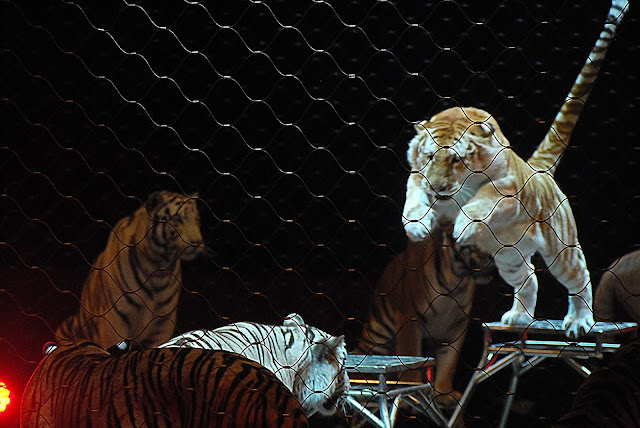 Tigers at Ringling Bros and Barnum and Bailey Circus Xtreme photo by K., Johnson, Picturologist