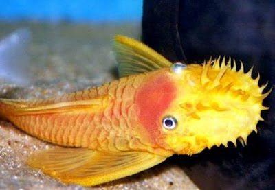 Gambar Ikan Brushmouth