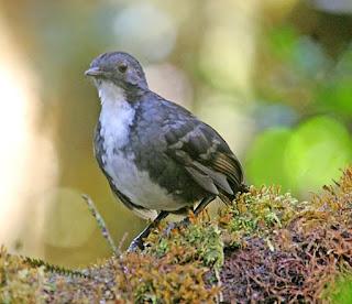 Papuan logrunner yang juga disebut dengan New Guinea logrunner (Orthonyx novaeguineae)
