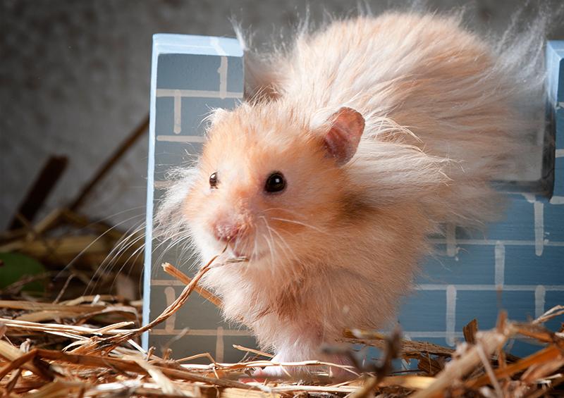 Syyrialainen Hamsteri