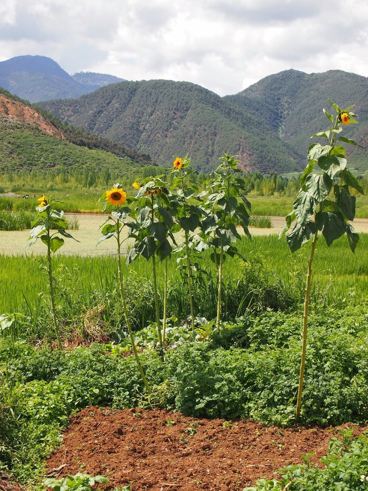 Tall sunflowers around Lugu lake