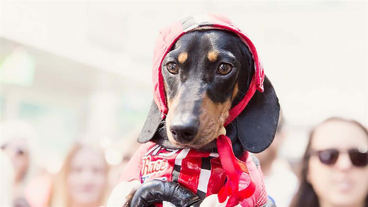Hophaus Dachshund Race 2016 - Dachshund wears red racing costume