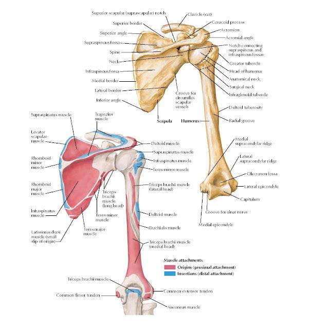 Humerus and Scapula: Posterior Views Anatomy