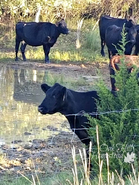 Cows in pond.