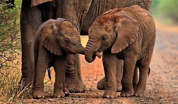 image of two baby elephants walking down a dirt road, holding each others' trunks