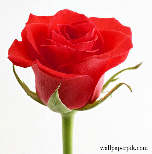 latest beautiful wallpaper rose wallpaper hd image