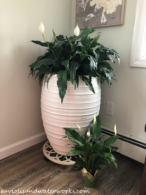 peace lily plant baby adult; full grown peace lily plant