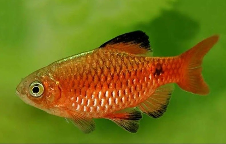 Mengenal Dan Merawat Ikan Barbir Aka Rossy Barb Lovedfish
