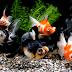Sekilas Cara Budidaya Ikan Hias Mas Koki (Carassius auratus)