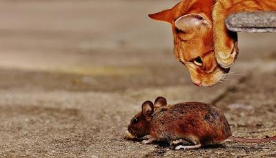 Cara mencegah tikus dengan kucing