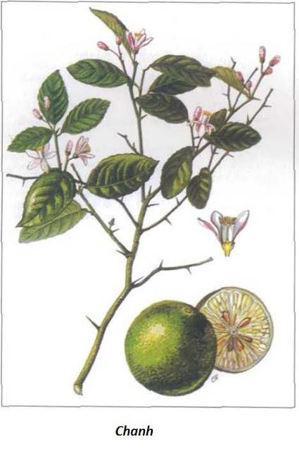 CHANH - Citrus limonia - Nguyên liệu làm thuốc Chữa Ho Hen
