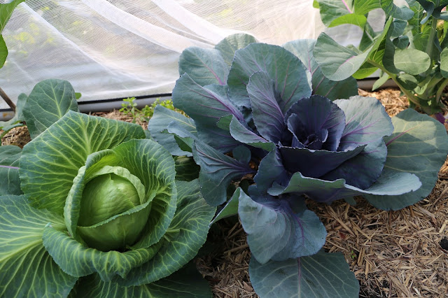 IMG_0831_cabbages.jpg