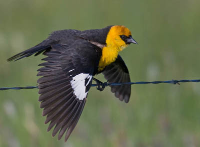 Photo of Yellow-headed Blackbird on fence