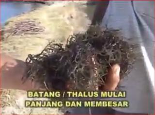 budidaya rumput laut organik nasa