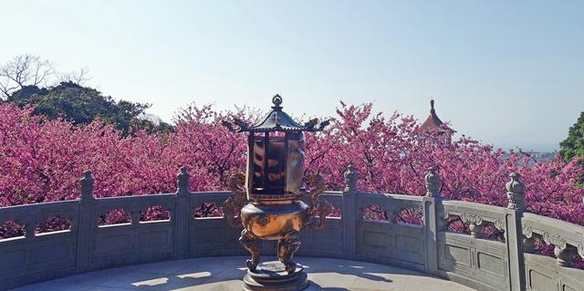 天元宮櫻花~淡水粉嫩花海