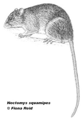 South American Water Rat