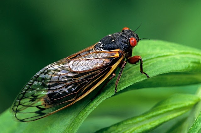 A Massive and Simultaneous Exodus of Billions of Cicadas that has not Happened in 17 years