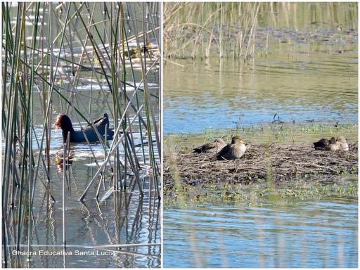 Aves acuáticas en Villa Serrana - Chacra Educativa Santa Lucía
