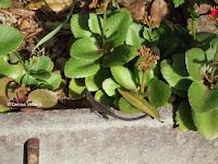 A little visitor: house gecko - Foster Community Garden, Honolulu, HI