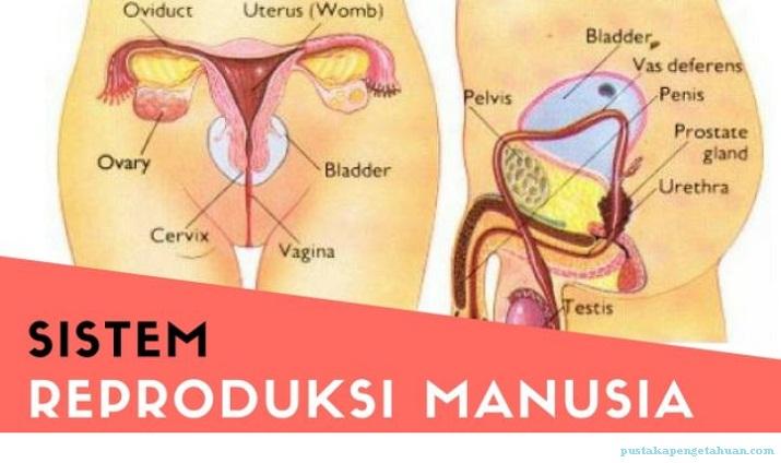 Sistem Reproduksi Manusia : Materi dan Soal Latihan