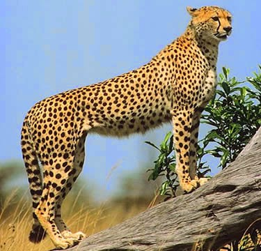 Cheetah standing on fallen tree trunk