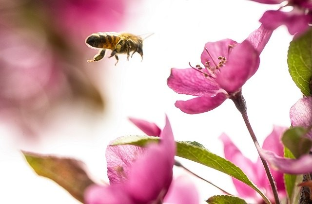 bumblebee flying towards pink flowers