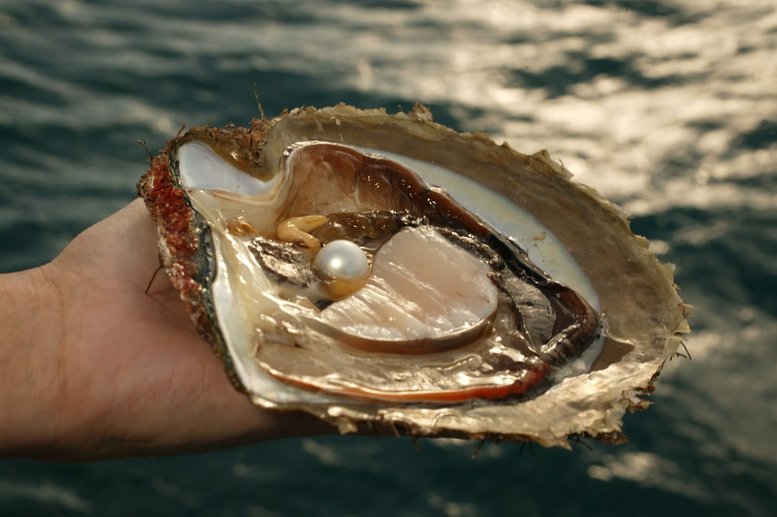 pearls from Q8: Do Pearls Really Come From Oysters?