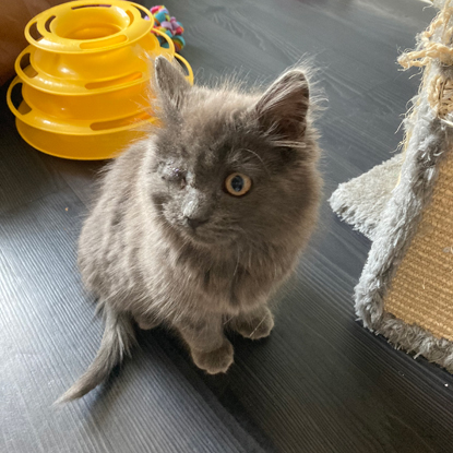 grey long-haired kitten with one eye