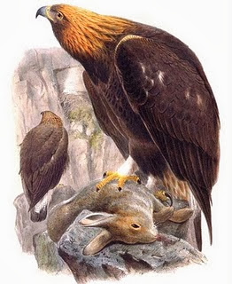 Águila real Aquila chrysaetos