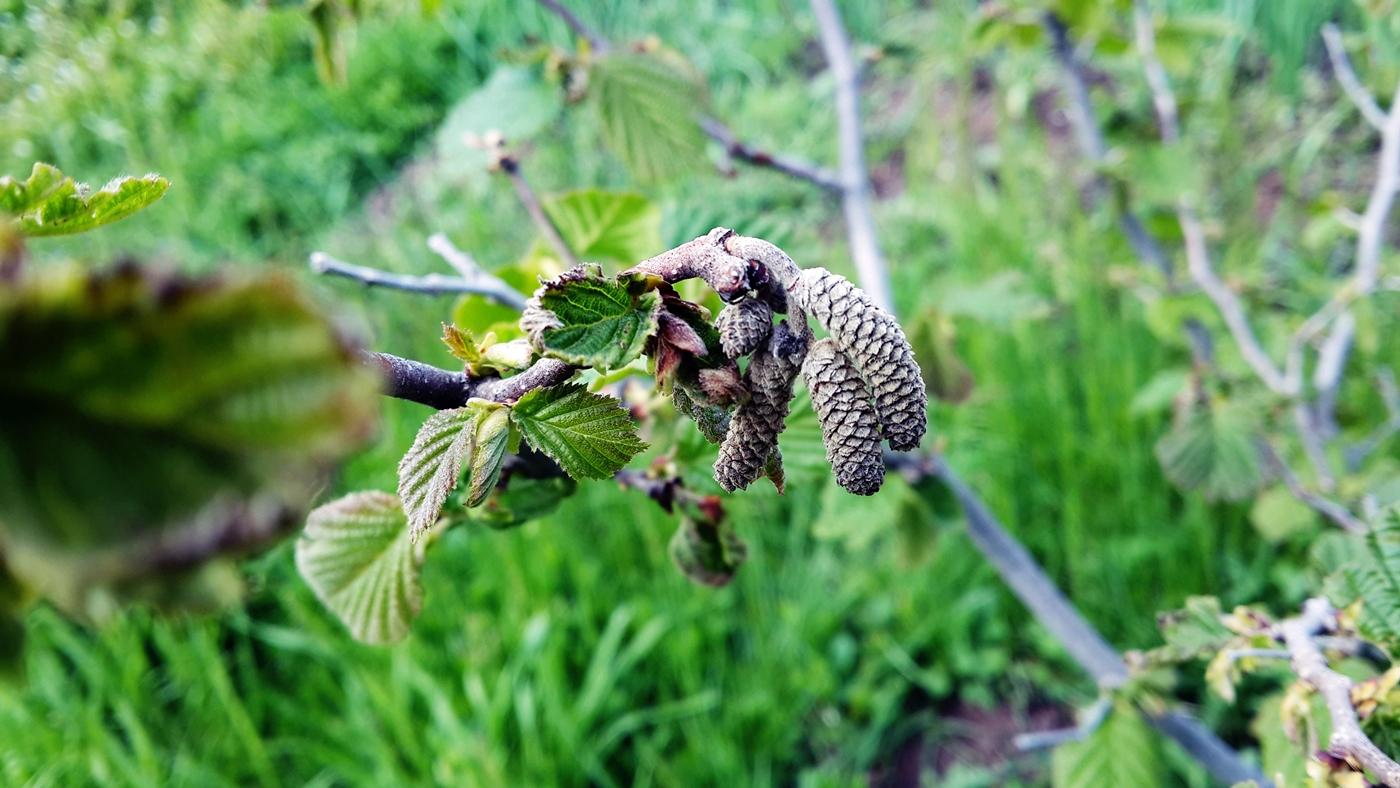 Hazelnut Growing, Hazelnut Tree, Spring