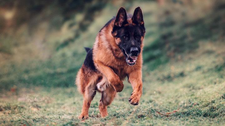 german-shepherd-pedigree-database-forum