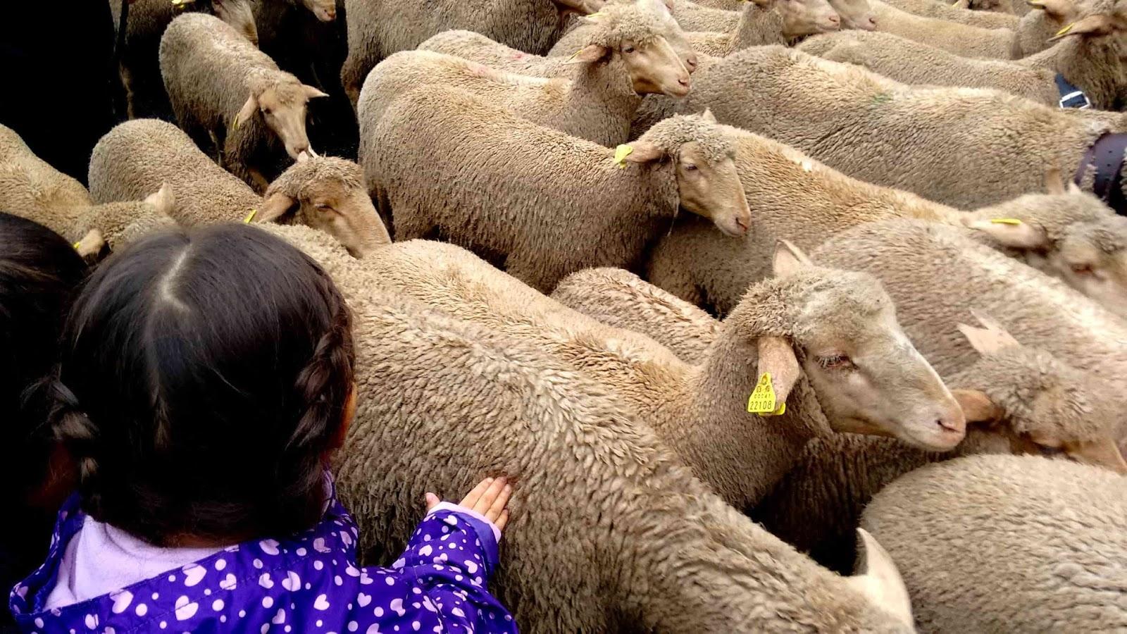 Festa das Ovelhas